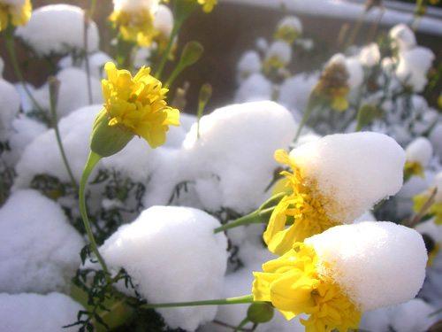 marigold in snow